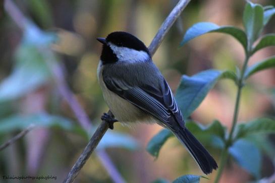 Black-capped Chickadee 032
