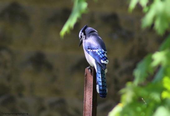 Blue Jay 009