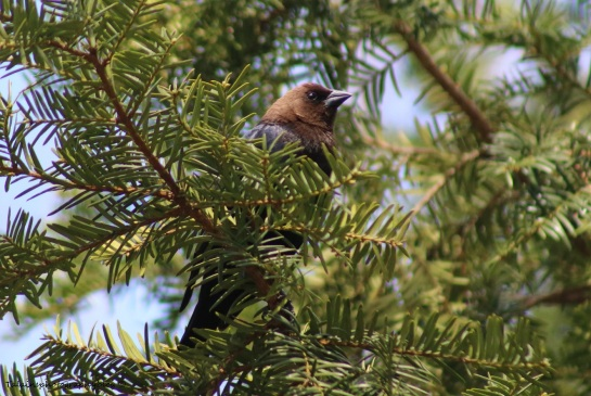 Brown Headed Cowbird 001