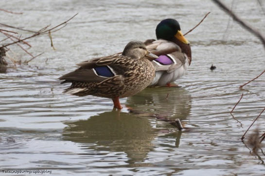 Ducks, Mallards 003