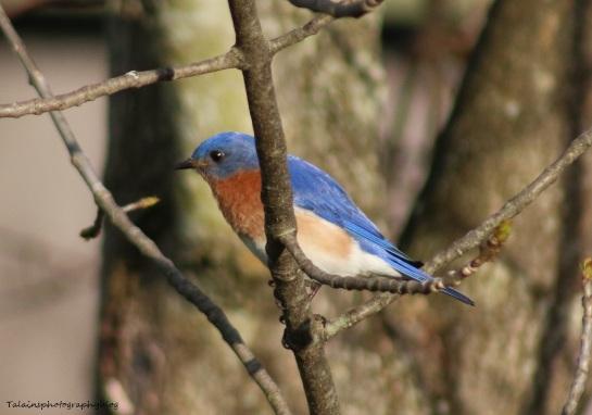 Eastern Blue Bird 017