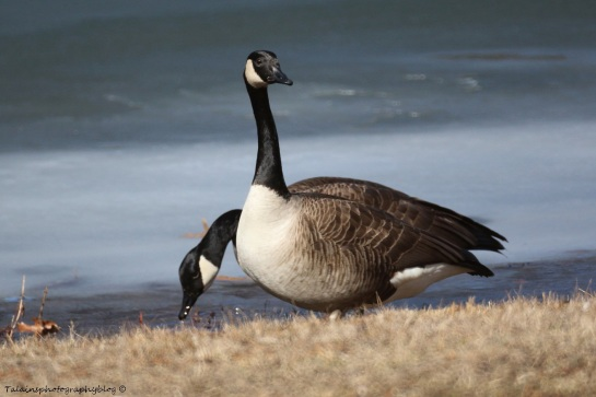 Geese, Canada 007