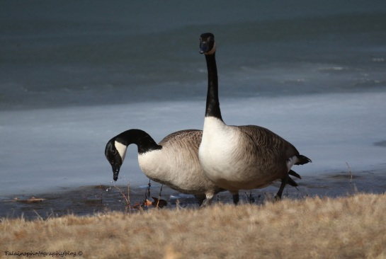 Geese, Canada 008