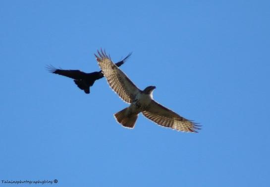 Hawk, Redtail 006
