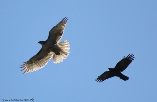 Hawk, Redtail 009