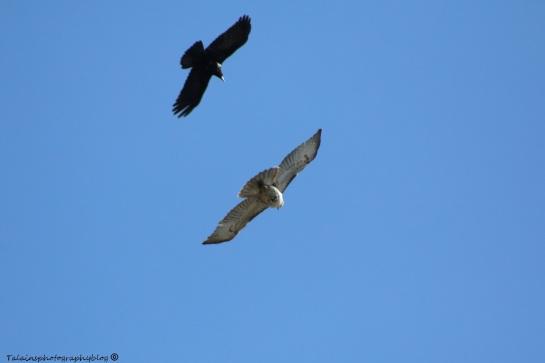 Hawk, Redtail 012