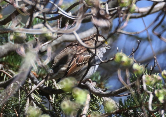 Sparrow, White-throated 006