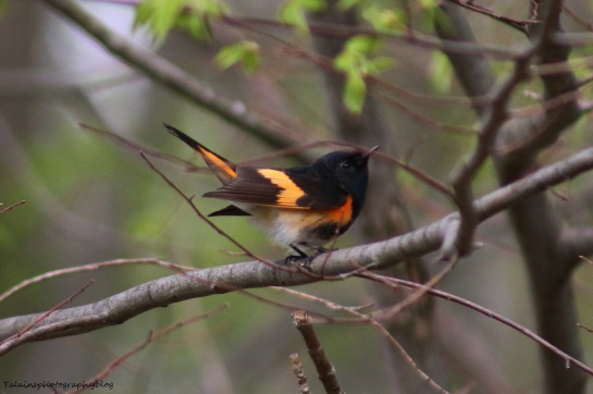 Warbler, American Redstart 008