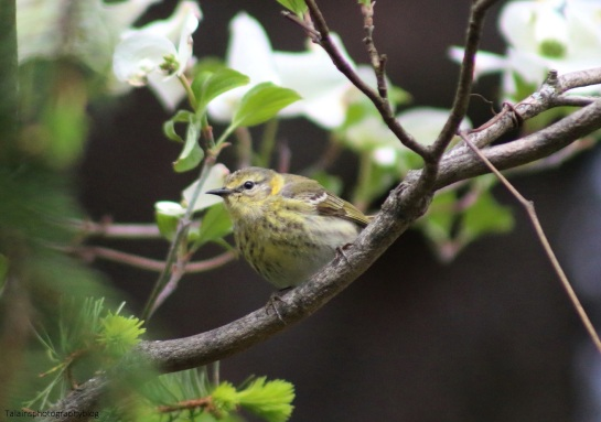 Warbler, Cape May 017