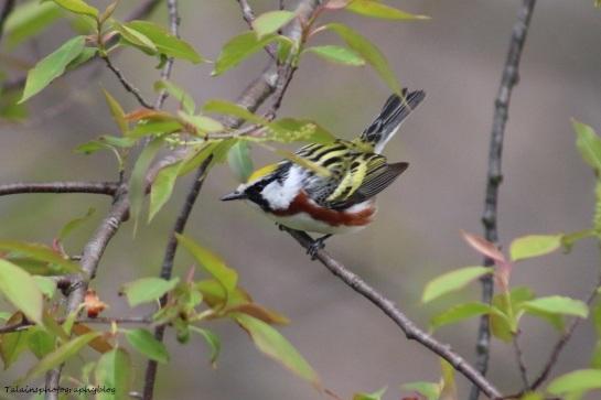 Warbler, Chestnut-sided 017