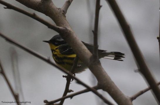 Warbler, Magnolia 005