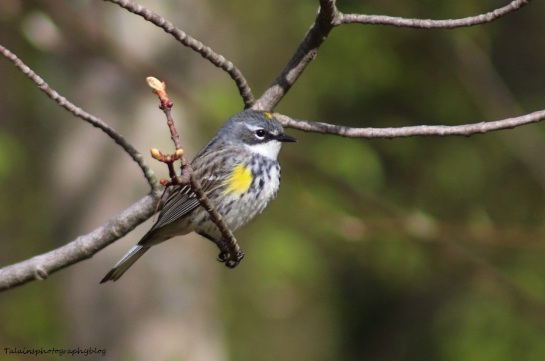 Warbler, Yellow-rumpped 015