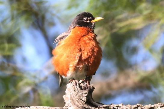Amrican Robin 012
