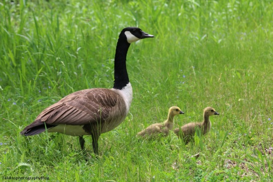 Geese, Canada 047