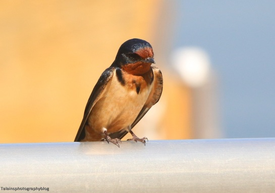 Swallow, Barn 001