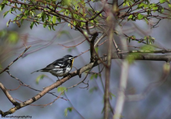 Warbler, Yellow-throated 003