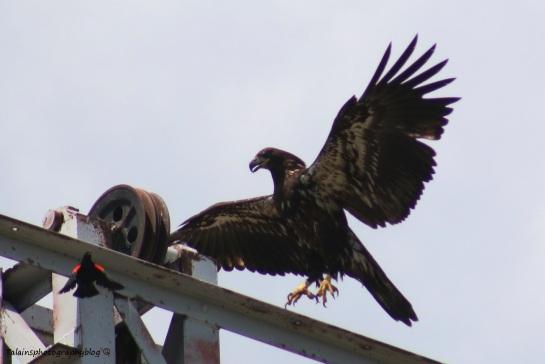 Bald Eagle 029