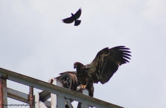 Bald Eagle 030