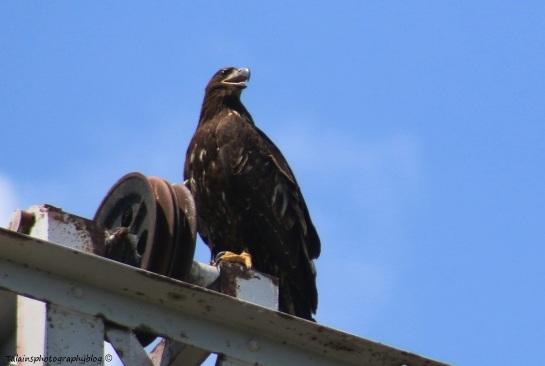 Bald Eagle 032