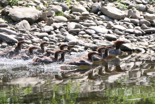 Ducks, Mergansers, Common 005