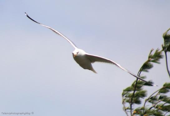 Gull, Ring-billed 006