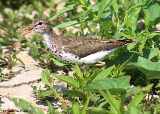 Sandpiper, Spotted 006
