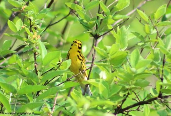 Warbler, Prairie 004
