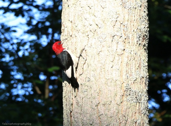 woodpecker, Red-headed 003