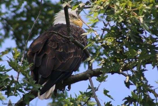 Bald Eagle 046
