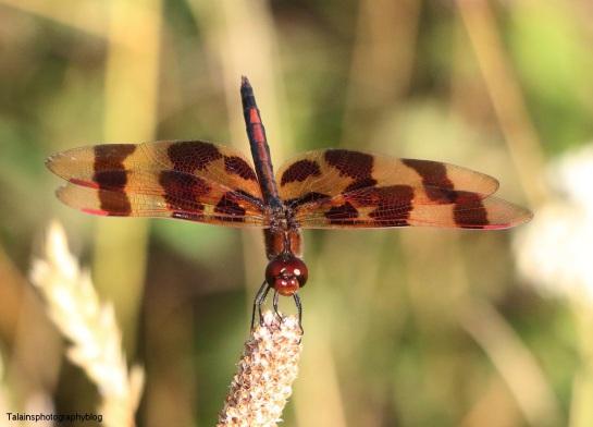 Dragonflys 018