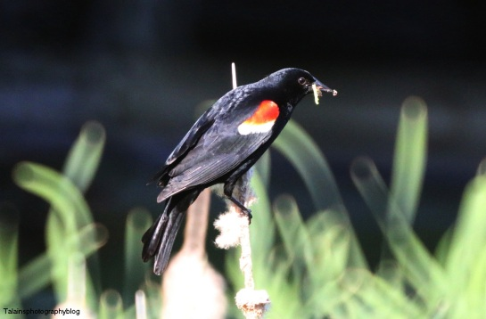 Red-winged Blackbird 008
