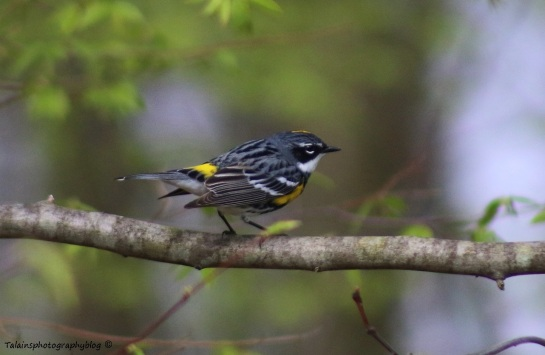 Warbler, Yellow-rumpped 010