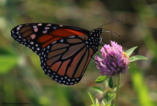 butterfly-071