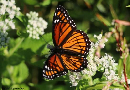 butterfly-085