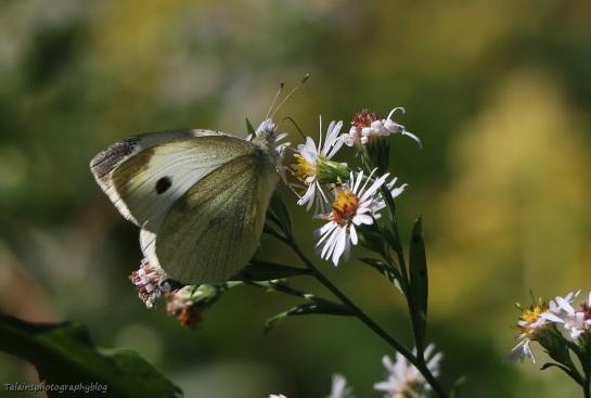 butterfly-089
