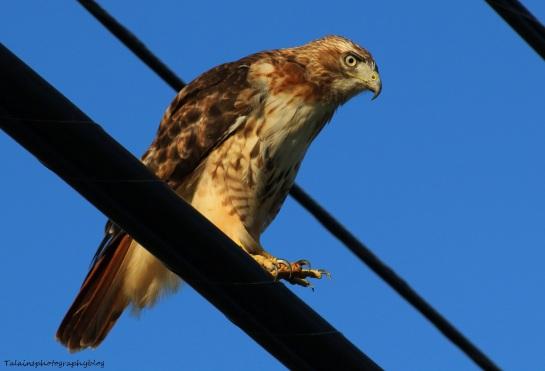 hawk-red-tail-026