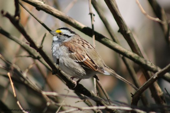 sparrow-white-throated-004