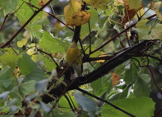 warbler-magnolia-002