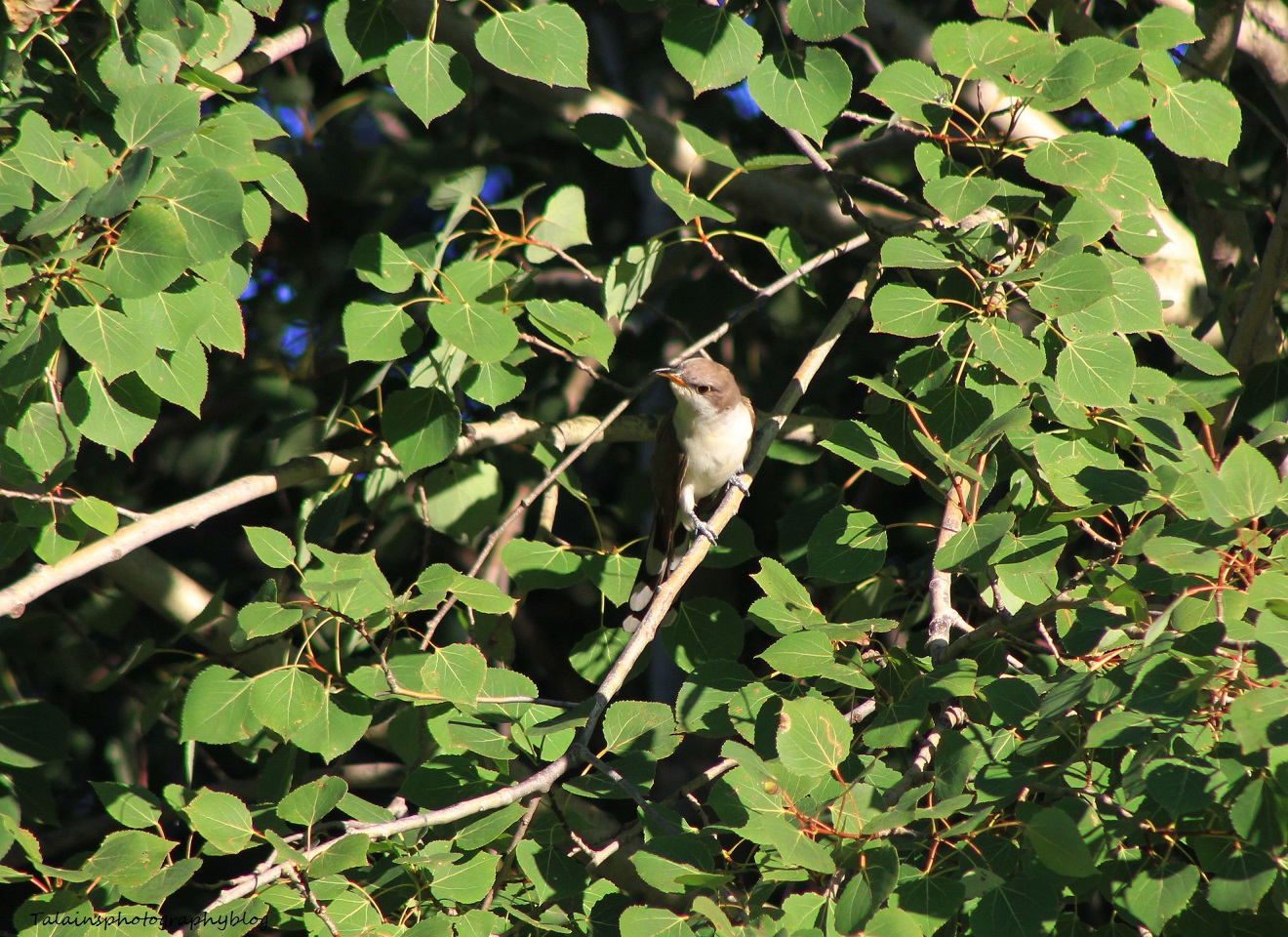 yellow-billed-cuckoo-004