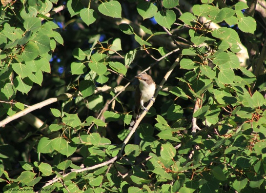 yellow-billed-cuckoo-004