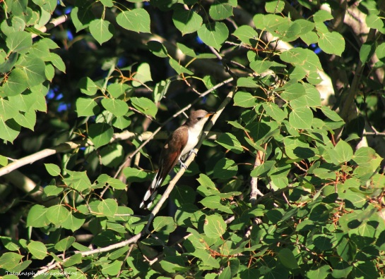 yellow-billed-cuckoo-006