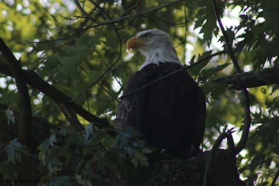 bald-eagle-051