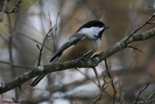 black-capped-chickadee-005