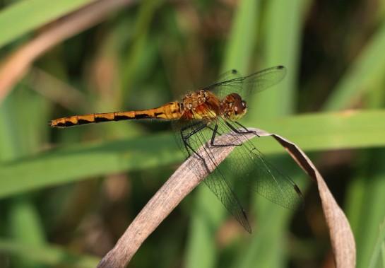 dragomfly-021