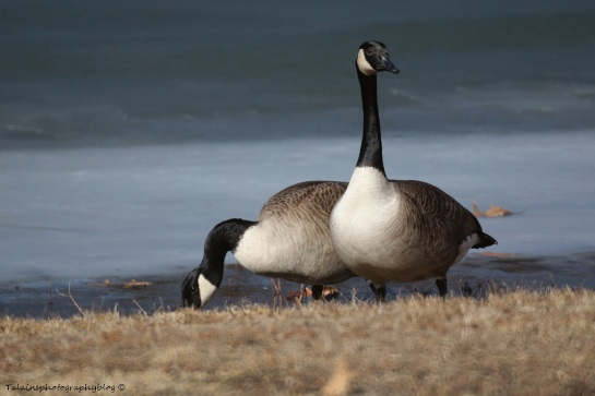 geese-canada-009