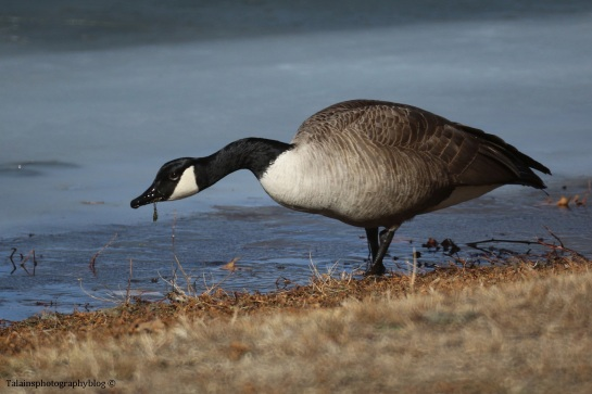 geese-canada-010