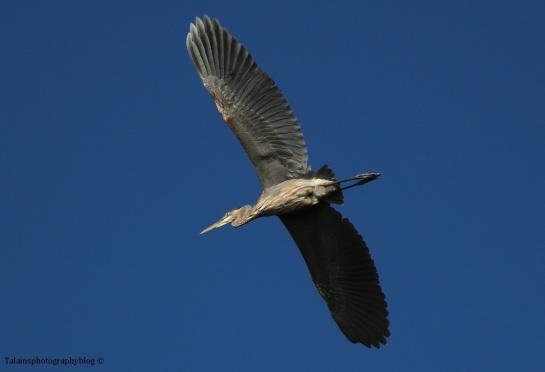 heron-great-blue-10