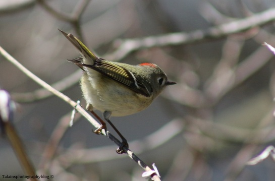 kinglet-ruby-crowned-014