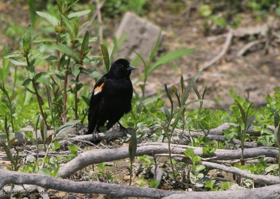 red-winged-blackbird-003