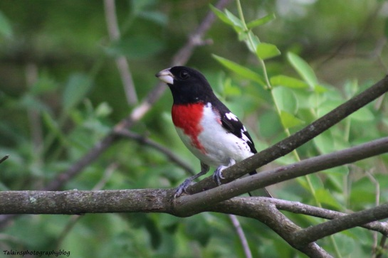 rose-breasted-grosbeak-019